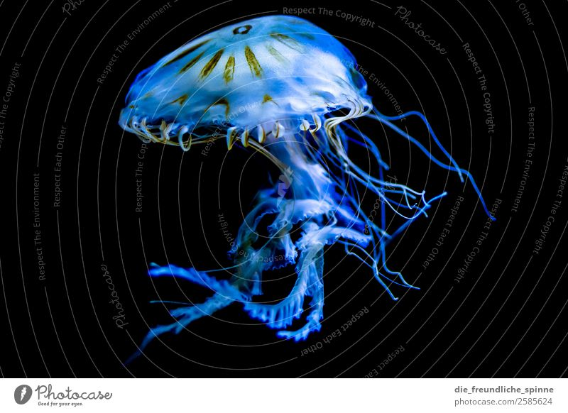 Bizarre water beauty Environment Animal Aquarium Berlin Germany Europe Wild animal Jellyfish 1 Swimming & Bathing Blue Black Whimsical False Mythical creature