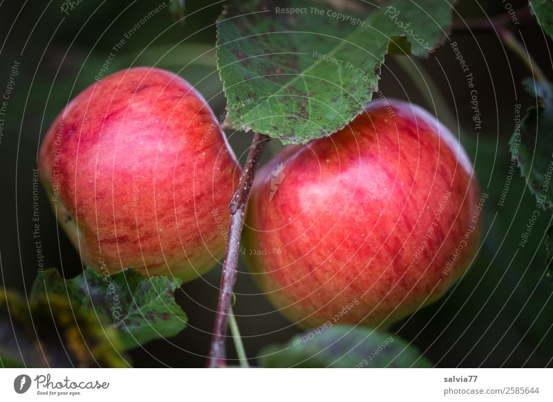 twins Food Apple Nutrition Organic produce Vegetarian diet Nature Autumn Plant Leaf Fruit garden Hang Illuminate Fresh Healthy Good Delicious Green Red October