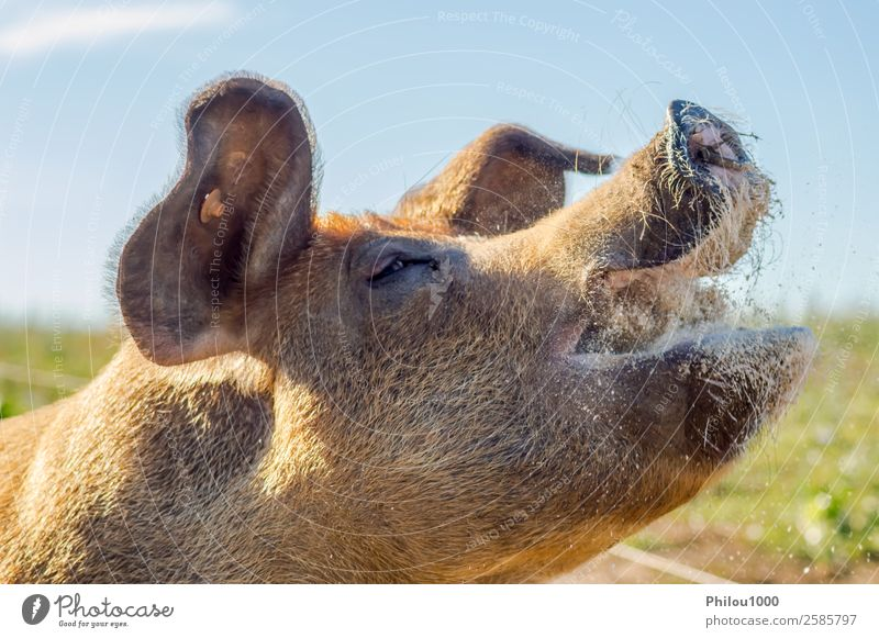 Close-up of the raised head of a busy sow feeding Meat Face Mother Adults Animal Meadow Farm animal Feeding Small White Colour Belgium Gaume animals background