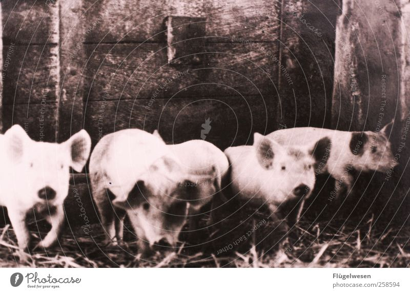 Family Schweinsteiger Farm animal Group of animals Swine Swinishness Pig's snout To be lucky Barn Pig head Herd Sow Pigsty Black & white photo Interior shot