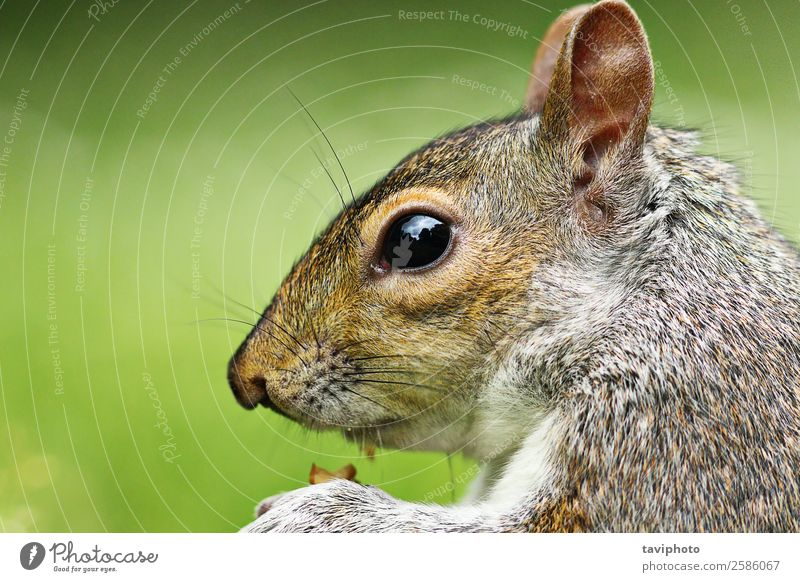 closeup of grey squirrel Nature Green Animal Forest Eating Natural Funny Small Garden Brown Gray Wild Park Wild animal Cute Living thing