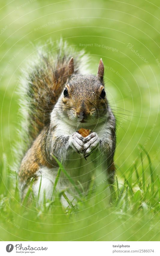 curious cute grey squirrel eating nut on lawn Eating Beautiful Nature Animal Grass Park Meadow Fur coat Feeding Stand Small Funny Natural Cute Wild Brown Gray