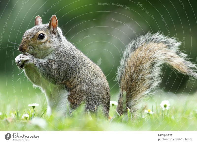 grey squirrel eating nut in the park Eating Beautiful Garden Nature Animal Park Fur coat Wild animal Feeding Small Funny Natural Cute Brown Gray Green Appetite