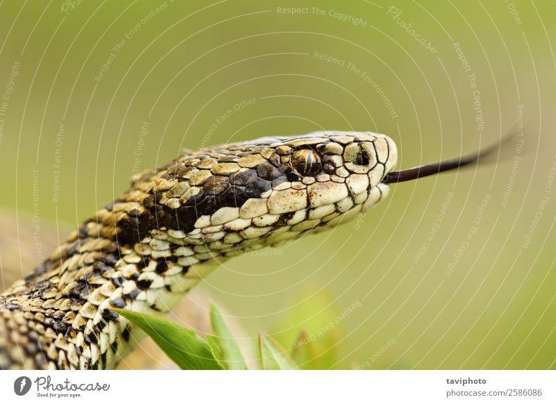 macro portrait of rare meadow viper Beautiful Nature Animal Meadow Snake Wild Brown Fear Dangerous Viper head tongue poisonous vipera ursinii colorful venomous