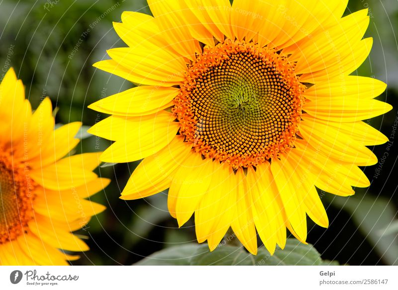 Image of beautiful sunflowers Beautiful Summer Sun Garden Nature Landscape Plant Sky Flower Leaf Blossom Meadow Growth Bright Natural Yellow Green Colour