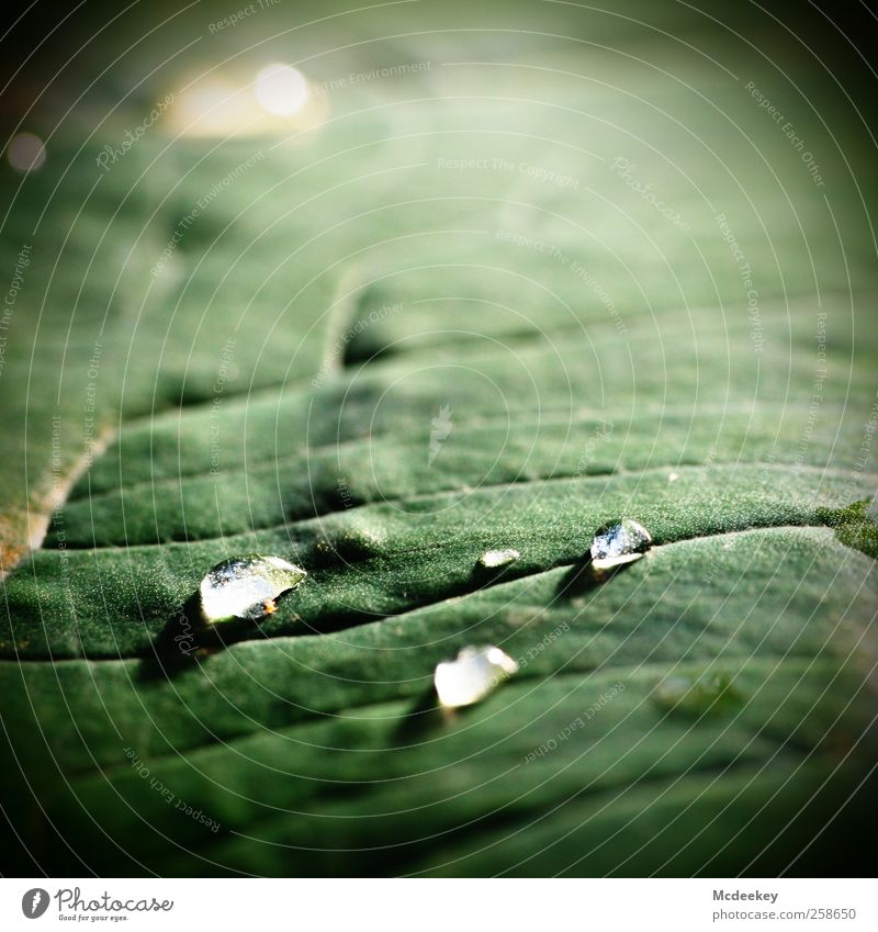 heavenly tears (2) Nature Plant Water Drops of water Sunlight Summer Beautiful weather Leaf Foliage plant Exotic Park Meadow Authentic Fluid Fresh Glittering