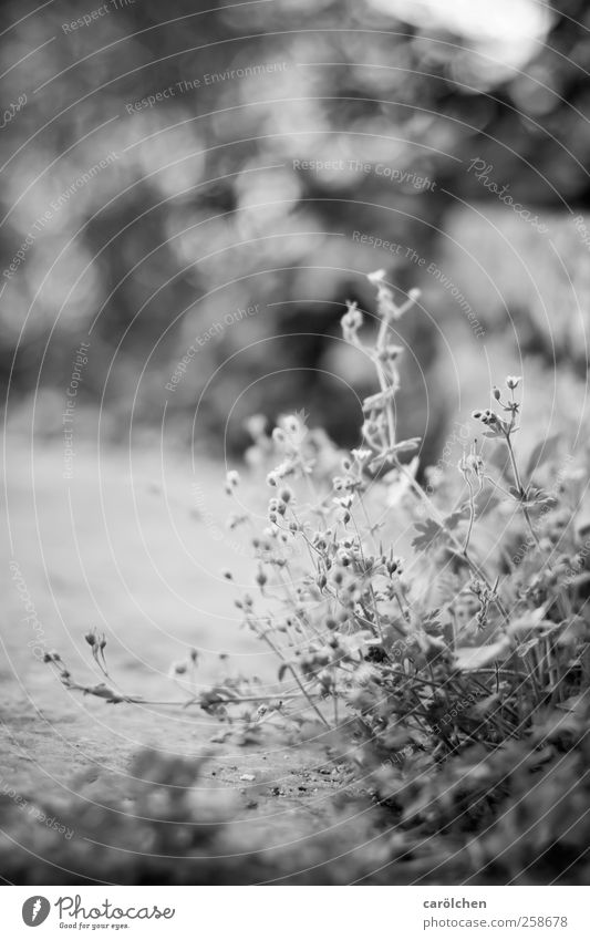 Small Plant Black White Weed Wayside Blur Simple Black & white photo Exterior shot Detail Deserted Copy Space right Copy Space top Shallow depth of field