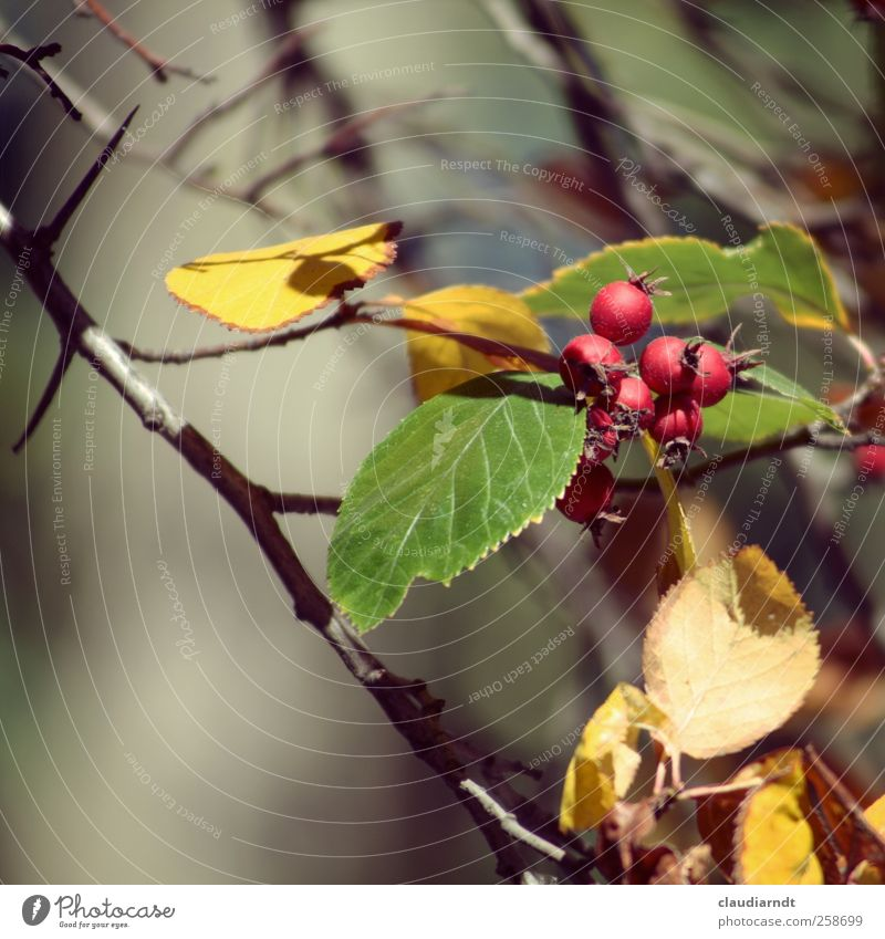 rose apples Nature Plant Autumn Bushes Leaf Rose hip Thorny Yellow Green Red Autumn leaves Twigs and branches Blur Colour photo Exterior shot Detail Deserted
