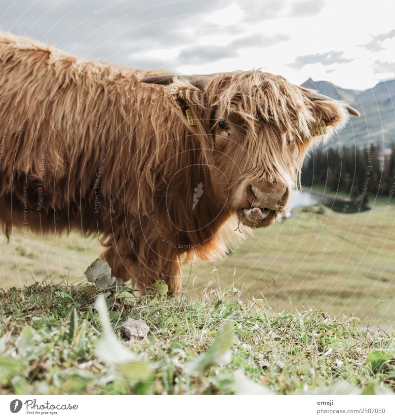 Scottish Highland Cattle Nature Animal Farm animal Cow Highland cattle 1 Cool (slang) Funny Ruminant Eating Curiosity Colour photo Exterior shot Deserted Day
