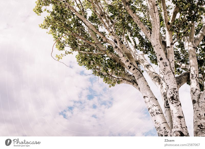 birch Environment Nature Landscape Sky Clouds Sun Summer Climate Climate change Tree Forest Large Tall Sustainability Natural Warmth Green Idyll
