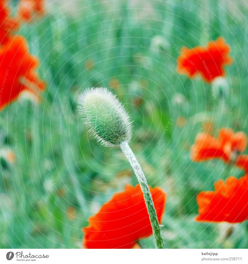 i like mohndays Environment Nature Plant Flower Grass Leaf Blossom Foliage plant Wild plant Park Meadow Blossoming Green Poppy Poppy blossom Bud Red
