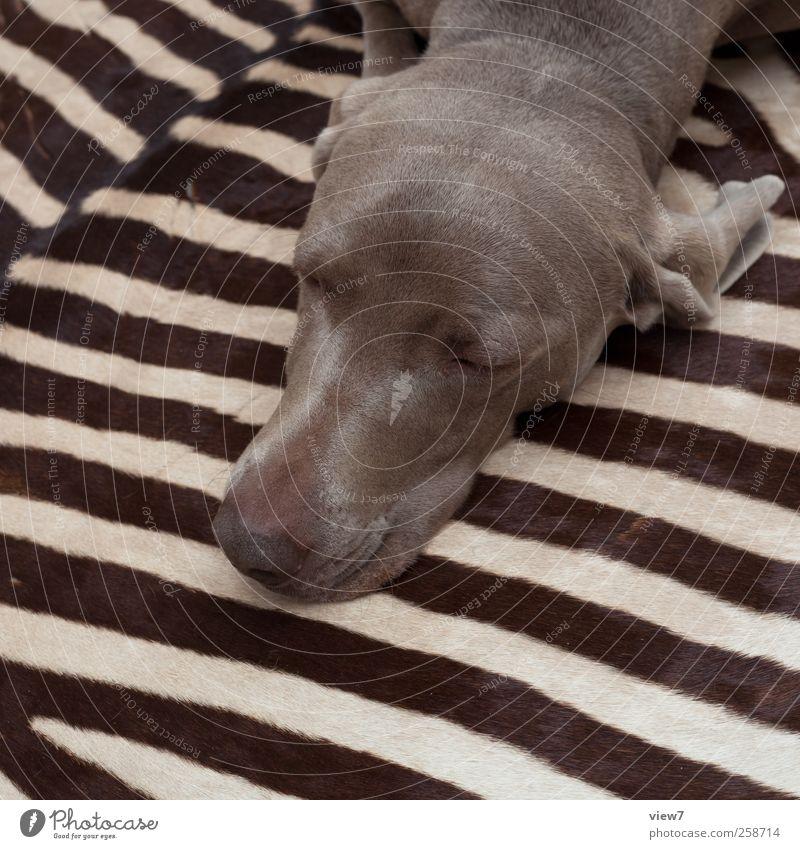 big-game hunting Animal Dog 1 Line Stripe Sleep Dream Esthetic Authentic Simple Modern Brown Adventure Design Living or residing Weimaraner Zebra zebra fur