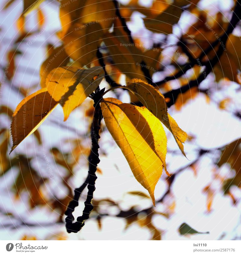 yellow leaves Plant Autumn Beautiful weather Tree Leaf Cherry tree Garden Blue Yellow Violet Black White Autumnal colours Illuminate Back-light Early fall