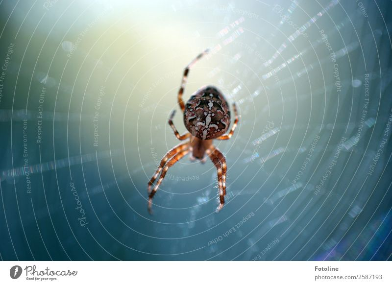 cross spider Environment Nature Animal Summer Autumn Wild animal Spider 1 Bright Small Near Natural Blue Brown White Spin Spider legs Spider's web Cross spider