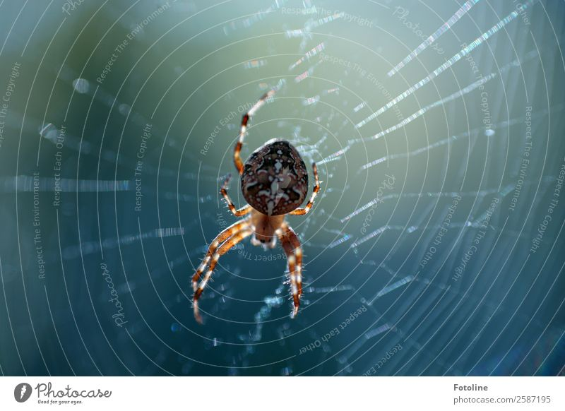 spider Environment Nature Animal Summer Autumn Wild animal Spider 1 Free Small Near Natural Blue Brown Spider's web Spider legs Cross spider Colour photo