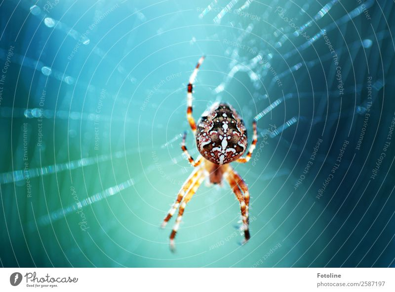 beautiful spider Environment Nature Animal Summer Autumn Wild animal Spider 1 Free Bright Small Near Natural Blue Brown Spin Spider's web Spider legs