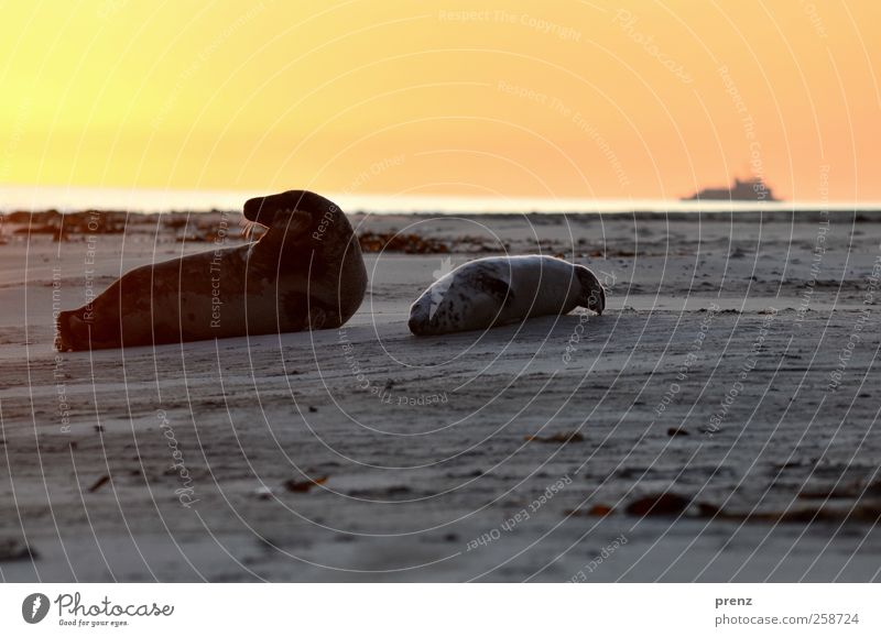 child and cone Environment Nature Landscape Animal Sky Beach North Sea Island Wild animal 2 Pair of animals Baby animal Lie Gray Red Seals Seal cub Mammal