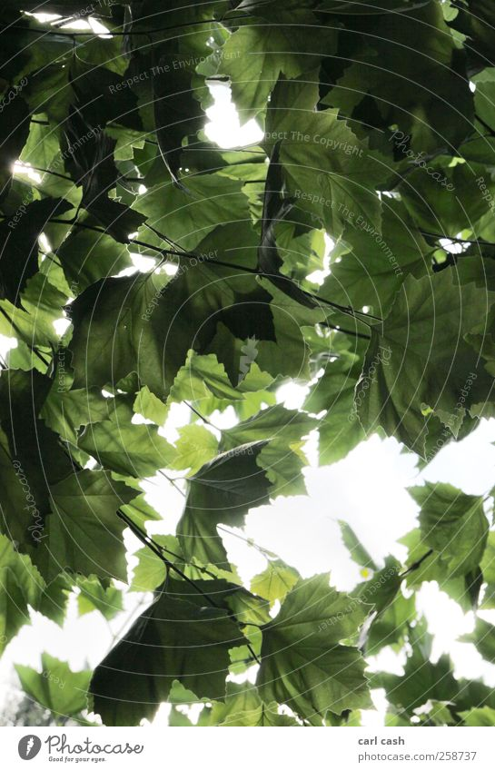 leaves Nature Plant Summer Tree Foliage plant Bright Brilliant Radiation Leaf Leaf canopy Colour photo Exterior shot Experimental Structures and shapes Deserted