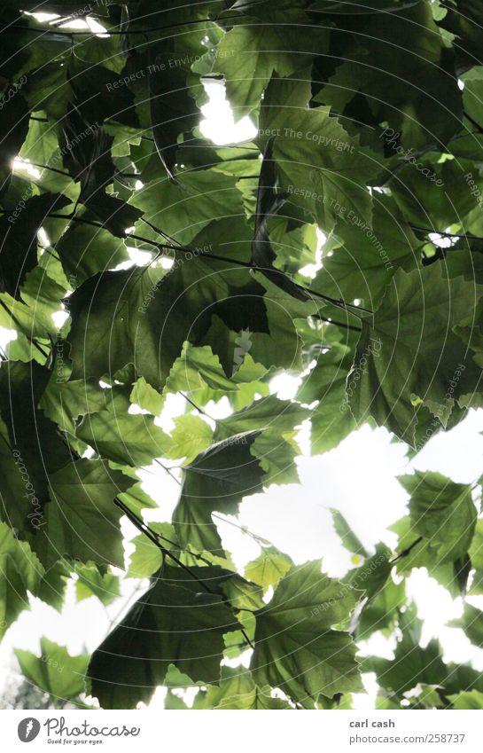 Nature Tree Plant Summer Leaf Bright Radiation Brilliant Foliage plant Light Leaf canopy
