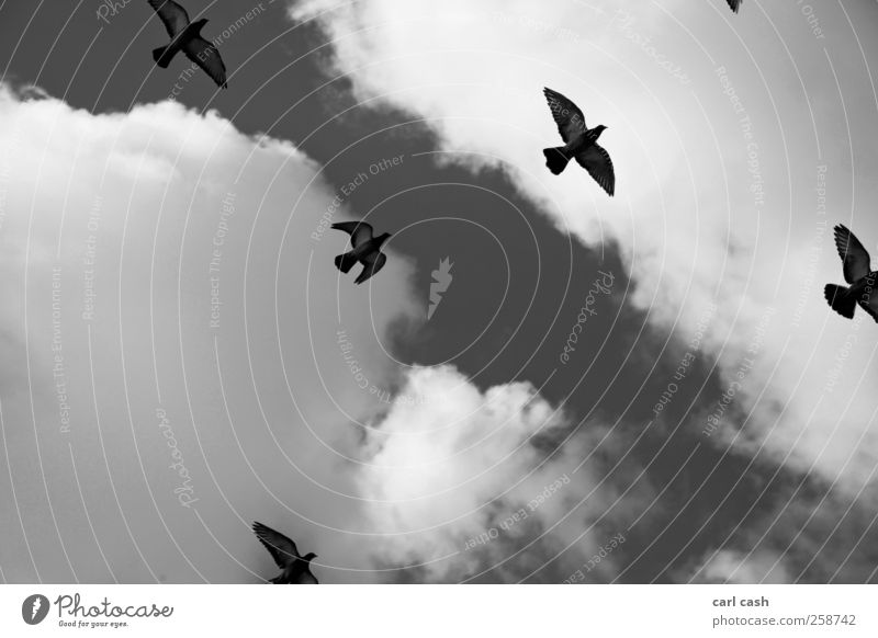 freedom Animal Sky Sky only Clouds Bird Group of animals Flock Freedom Esthetic Elegant Together Infinity Gray Black White Friendship Attachment Pigeon