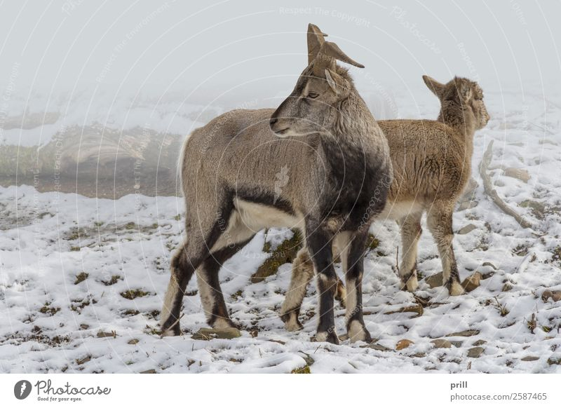 wild goats Winter Nature Animal Fog Forest Wild animal Together Cold Goats Bezoar goat Snow Natural Habitat Frost Tree trunk Living thing Frozen laterally two