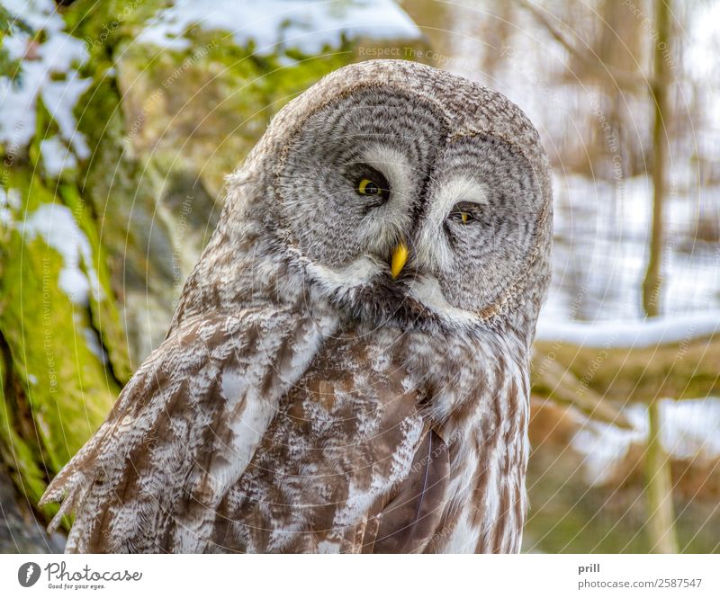 Great grey owl Relaxation Winter Head Animal Bird Animal face 1 Cold Brown Owl birds phantom of the north Large Grey Owl Lapland Scops Owl Rest speckled Feather