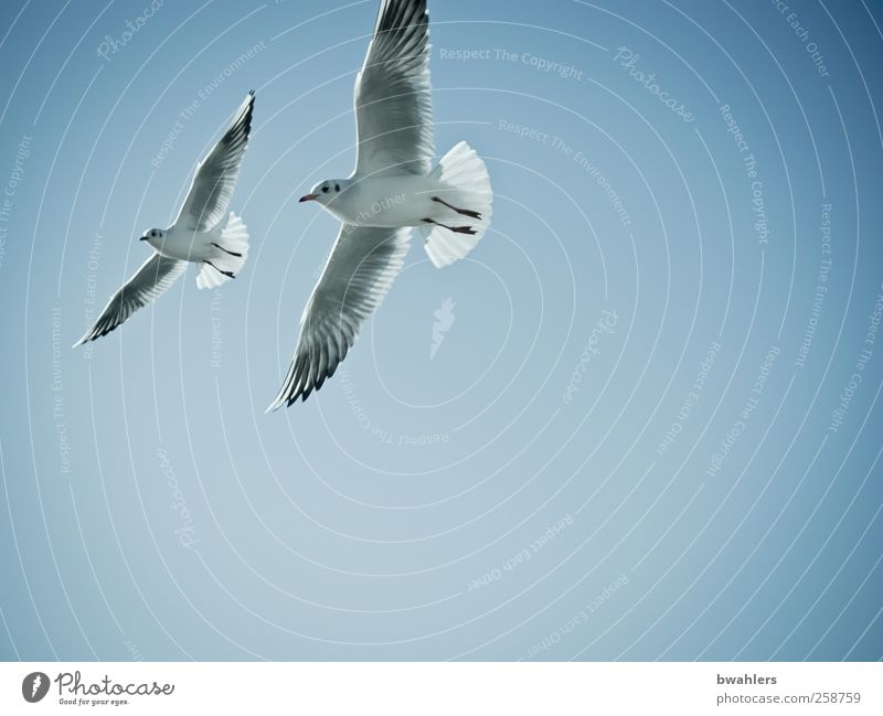 boundless Nature Air Sky Sky only Cloudless sky Beautiful weather Animal Bird 2 Flying Free Blue Happy Wanderlust Freedom Peace Ease Far-off places Seagull Wing