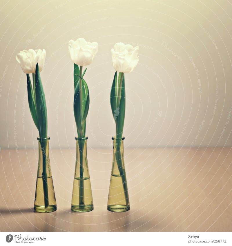 Three Plant Flower Tulip Bouquet Green White Orderliness Arrangement 3 Sequence Spring Side by side Puristic Flower vase Interior shot Deserted Copy Space right
