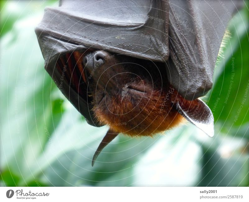 Relaxation Animal Wild animal Sleep Hide Asia Exotic Fatigue Hang Animal face Cozy Cover up Bat Old World fruit bats