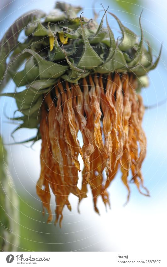 Suddenly old Nature Plant Summer Flower Sunflower Old Hang Faded Exceptional Natural Sadness Grief Death Shriveled Dry Colour photo Subdued colour Exterior shot