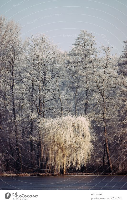 winter morning Landscape Winter Ice Frost Tree Weeping willow Forest Lakeside Hoar frost Cold White Peaceful To console Grief Loneliness Eternity Idyll