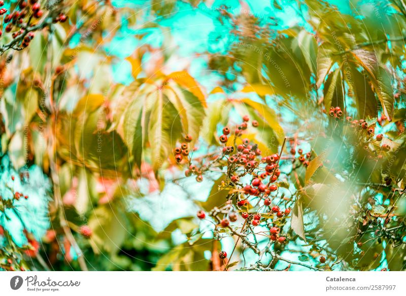 berry Nature Plant Sky Autumn Beautiful weather Bushes Leaf Wild plant Virginia Creeper Hawthorn Hedge Tendril Berry bushes Berry seed head Garden To dry up