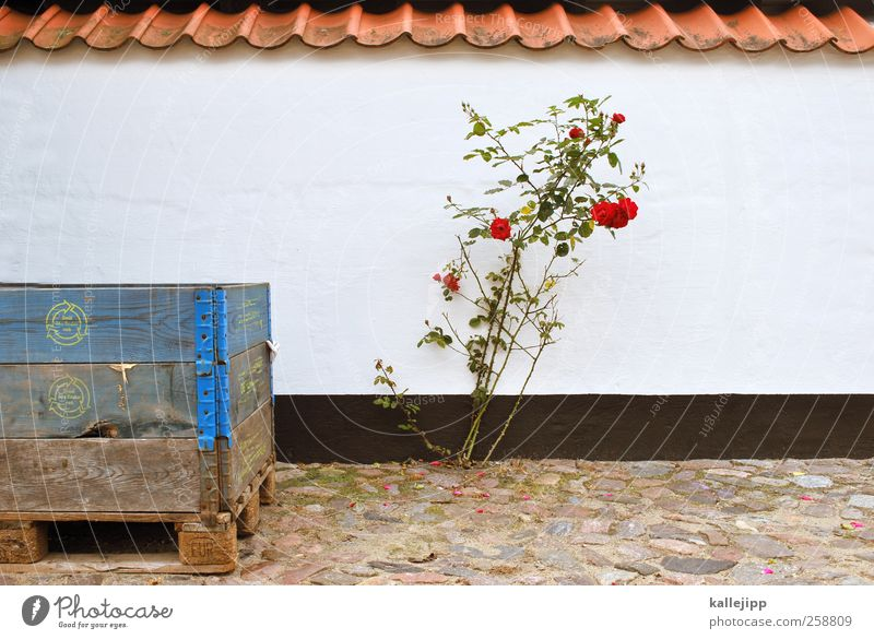 survivor Lifestyle Environment Nature Plant Rose Blossom Wild plant Blossoming Growth Wall (barrier) Denmark Crate Fishery Colour photo Exterior shot Light