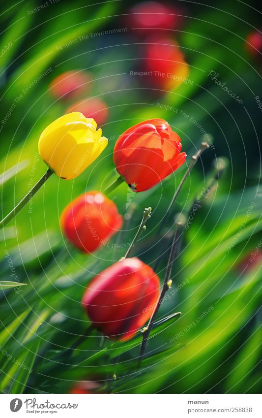 Nature Plant Flower Leaf Spring Blossom Natural Authentic Tulip Feasts & Celebrations Spring flower Contrast