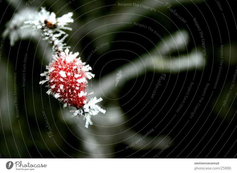 The ice cold rose hip Winter Frozen Red Ice Branch Plant ice crystals Dog rose