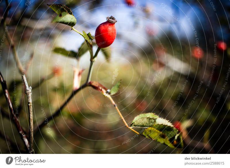 Nature Autumn Moody Bushes Sharp thing Rose hip