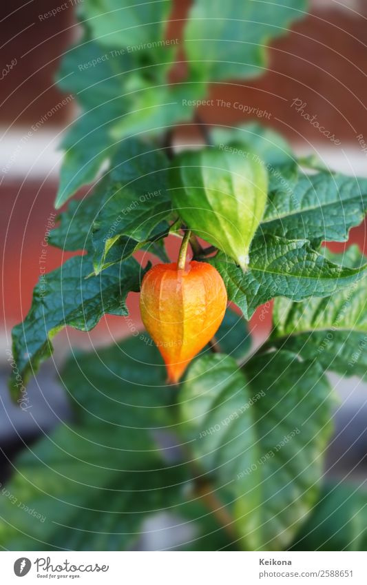 Physalis fruits. Plant Pot plant Exotic Garden Idyll Beautiful bladder Chinese land strawberry groundcherry Cape gooseberry Tilt-Shift gardening