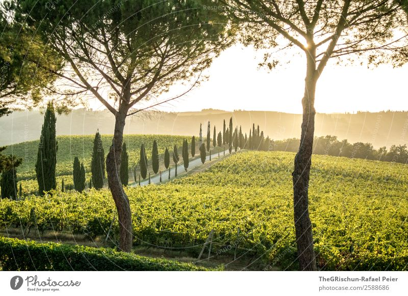 Tuscany Dream Landscape Yellow Gold Green Italy Tree Property Wine Vine Avenue Cypress Street Lanes & trails Sunset Back-light Moody Romance Colour photo