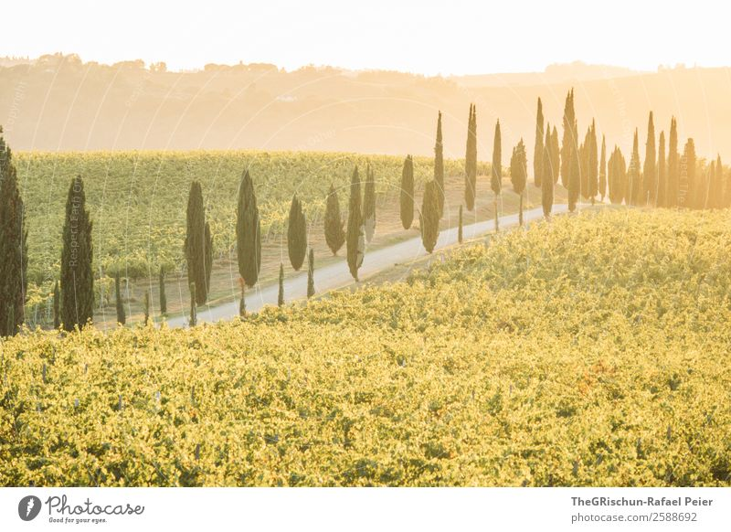 Tuscany Nature Landscape Yellow Gold Green Italy Avenue Street Lanes & trails Gravel Vineyard Back-light Moody Sunset Vacation & Travel Colour photo