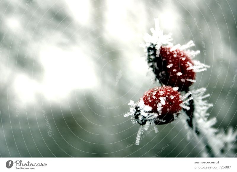 The ice cold rose hips Winter Frozen Red Ice Branch Plant ice crystals Dog rose