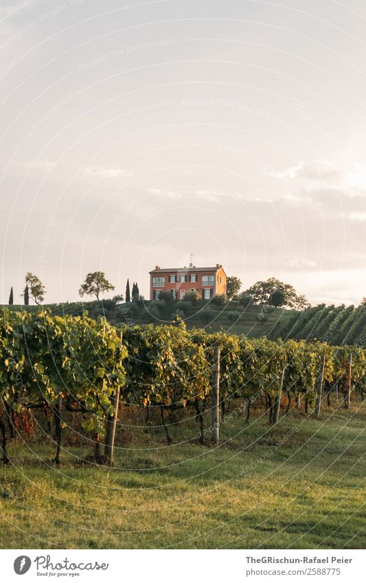 vineyard Nature Landscape Green House (Residential Structure) Slope Hill Vineyard Bunch of grapes Tree Italy Moody Winery Colour photo Exterior shot Deserted