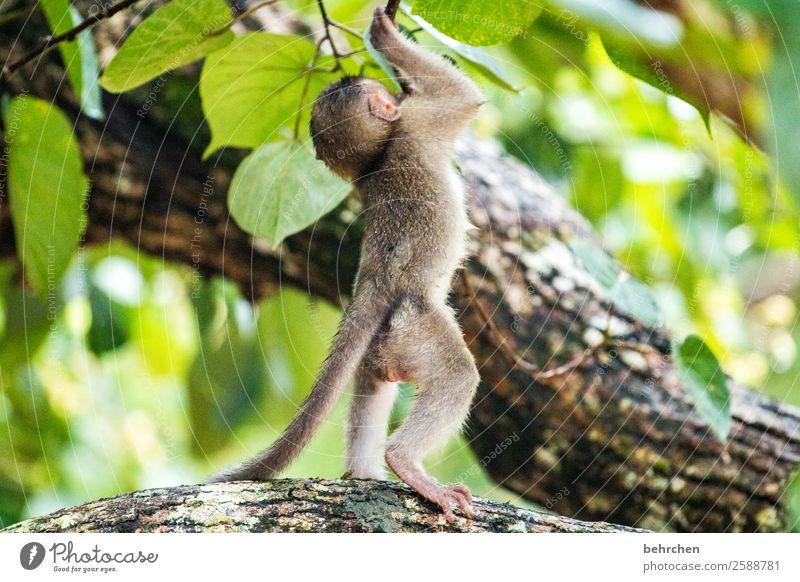 don't let it hang | little macaque baby especially Leaf Tree Impressive Nature Meditative Close-up Blur Animal portrait Bako National Park Wilderness Sarawak