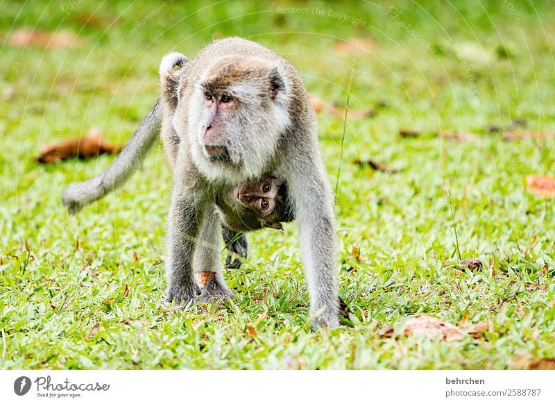 emotion mother love... trust and protect Vacation & Travel Tourism Trip Adventure Far-off places Freedom Wild animal Animal face Pelt Monkeys longtail macaque 2