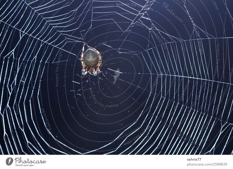 Nature Animal Exceptional Wait Net Creepy Watchfulness Disgust Patient Fragile Spider Spider's web Cross spider Orb weaver spider