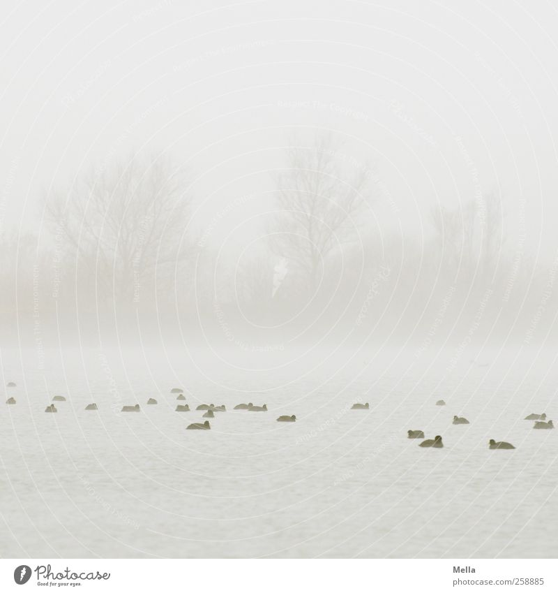 At sea Environment Nature Landscape Plant Water Sky Fog Tree Pond Lake Bird Duck Coot Group of animals Swimming & Bathing Together Bright Small Natural Gray