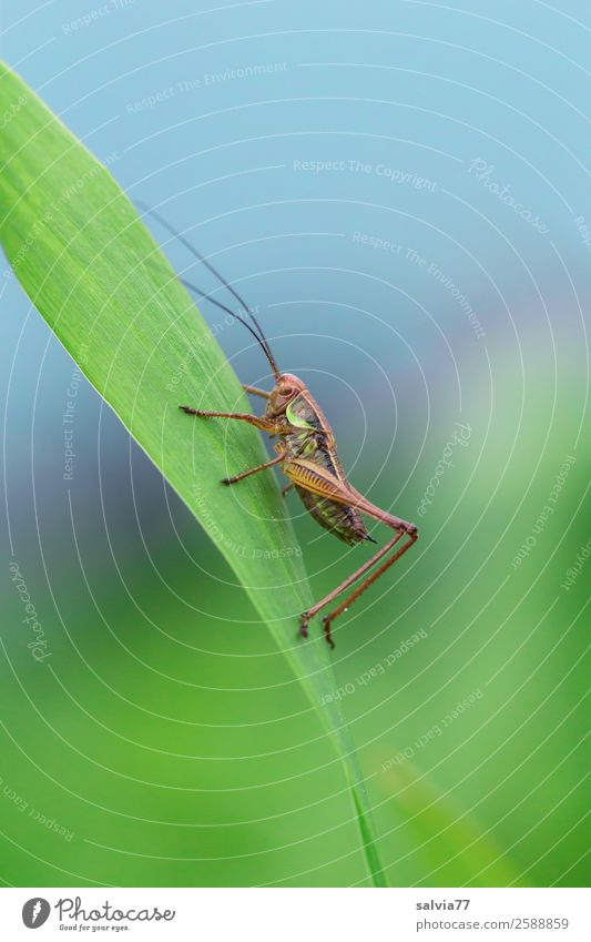 hop Environment Nature Summer Plant Leaf Meadow Field Animal Wild animal Dryland grasshopper Long-horned grasshopper Insect 1 Blue Green Upward Colour photo
