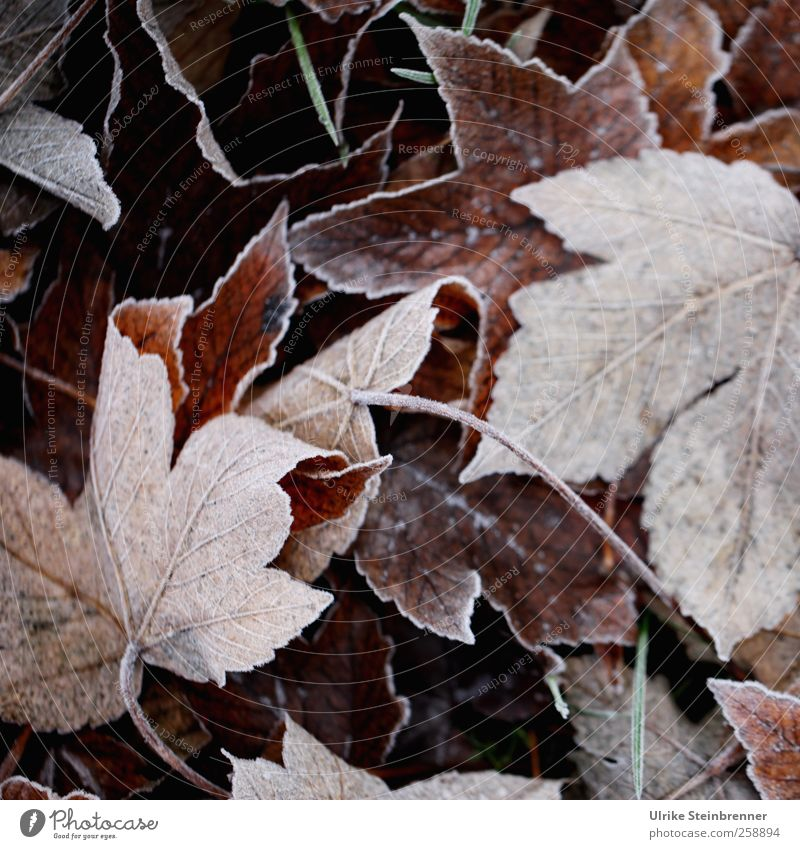 Foliage 1 Environment Nature Plant Winter Weather Ice Frost Leaf Wild plant Autumn leaves Meadow Field Freeze Lie To dry up Cold Sustainability Natural Brown