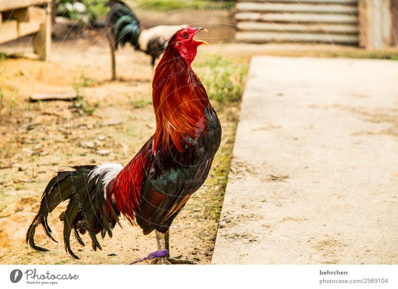 Vacation & Travel Beautiful Animal Far-off places Tourism Exceptional Freedom Trip Adventure Feather Fantastic Wing Asia Beak Barn fowl Farm animal