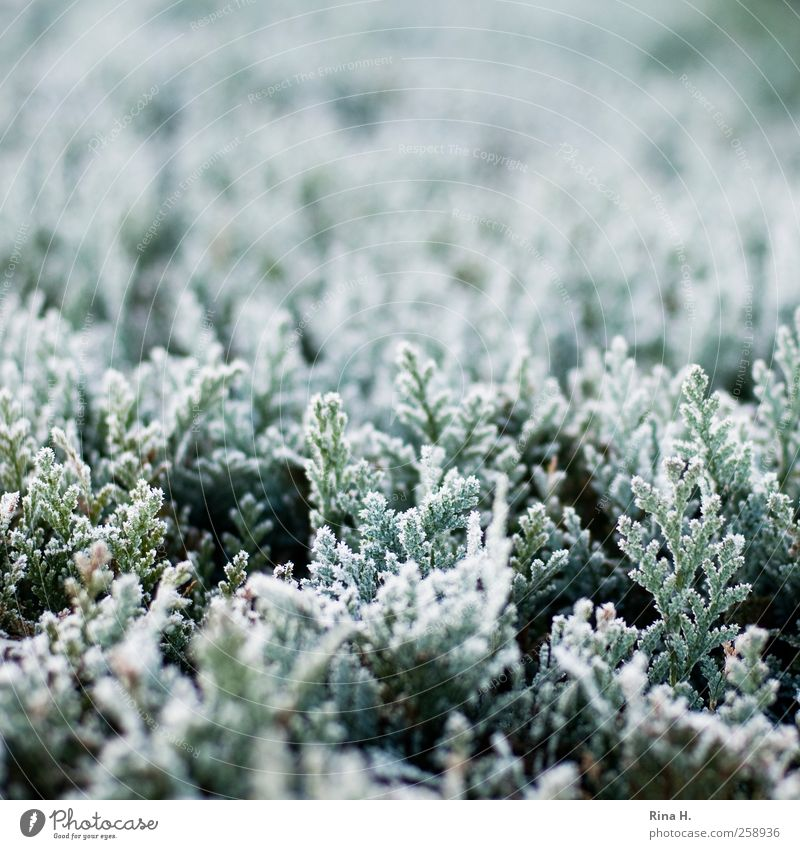 winter Environment Nature Plant Winter Weather Ice Frost Tree Coniferous trees Hedge Freeze Cold Natural Green White Hoar frost Colour photo Subdued colour