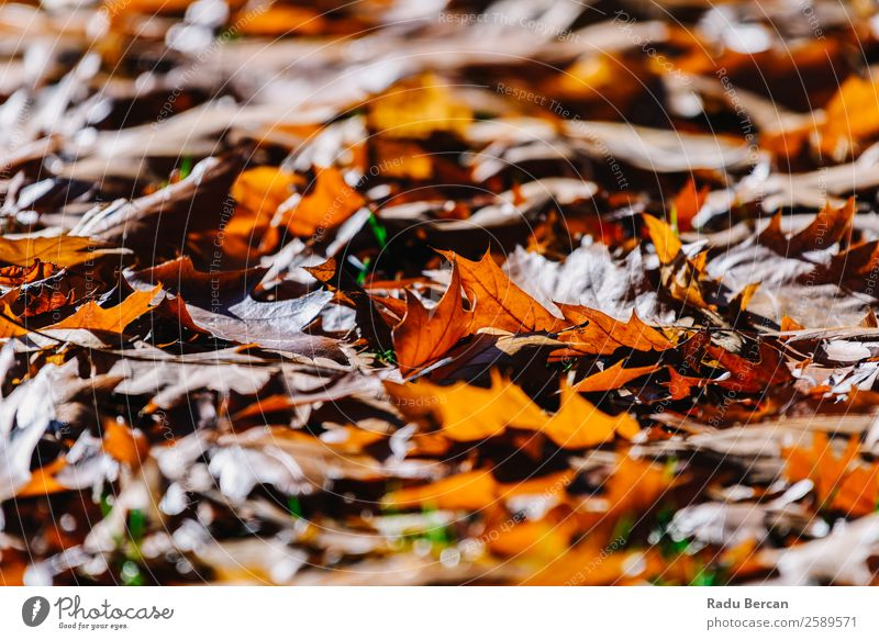 Red Autumn Leaves Background In Fall Season Beautiful Garden Wallpaper Environment Nature Landscape Plant Tree Leaf Park Forest Bright Natural Brown Yellow Gold